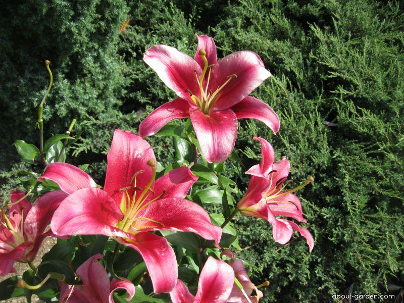 Lily - Lilium x hybridum Amarossi