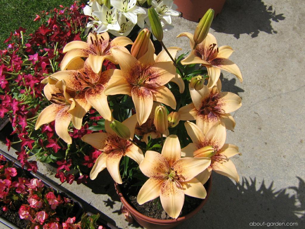 Lily - Lilium x hybridum 4 You