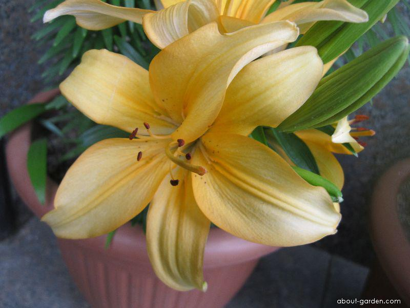 Lily - Lilium x hybridum Buff Pixie