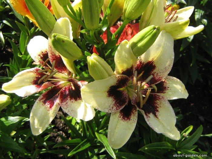 Lily - Lilium x hybridum Black Spider