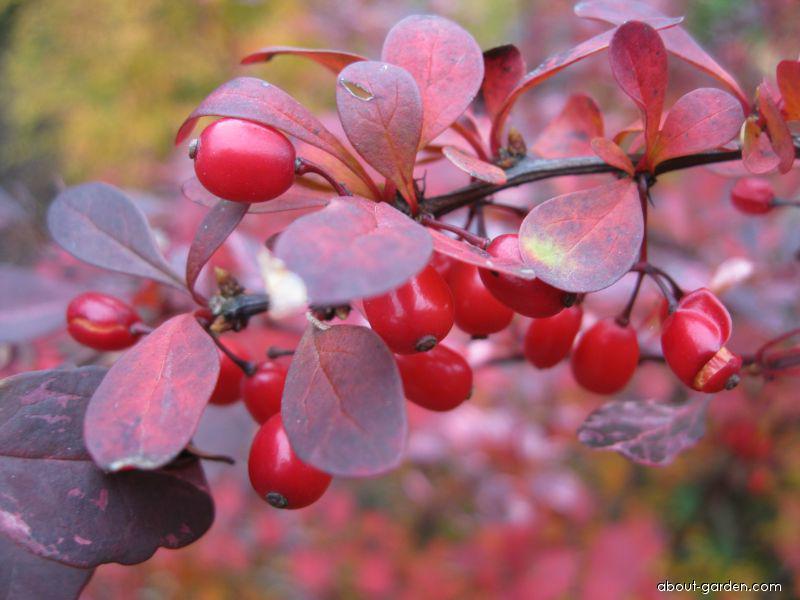 Japanese barberry - Berberis thunbergii
