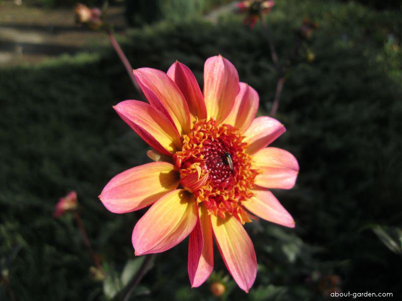 Jiřinka proměnlivá (Dahlia pinnata)