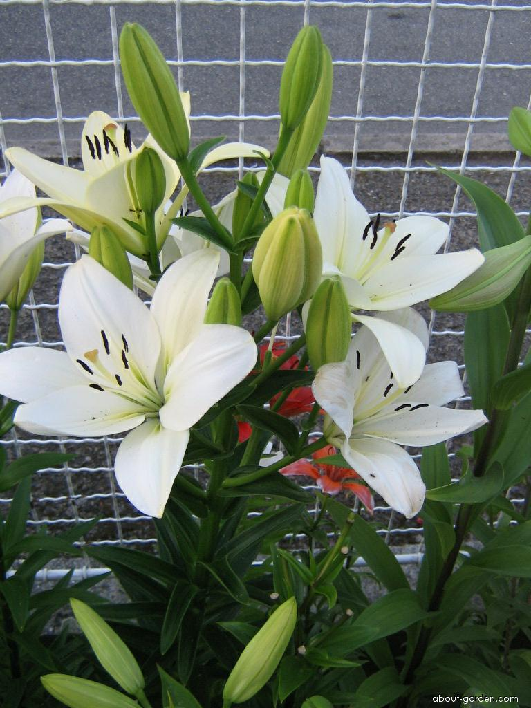 Lily - Lilium x hybridum Navona