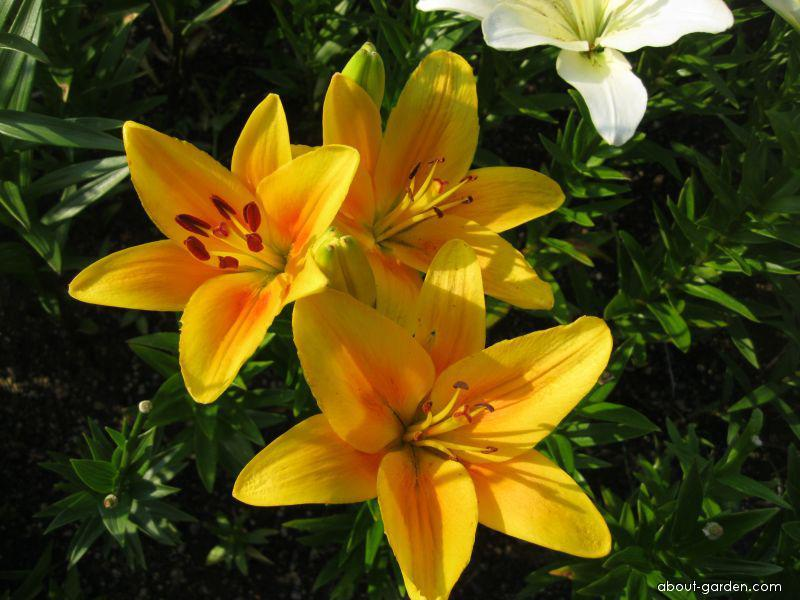 Lily - Lilium x hybridum Salmon Beauty