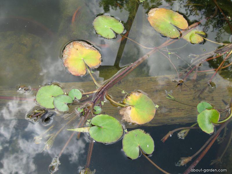 Plavín štítnatý (Nymphoides peltata)