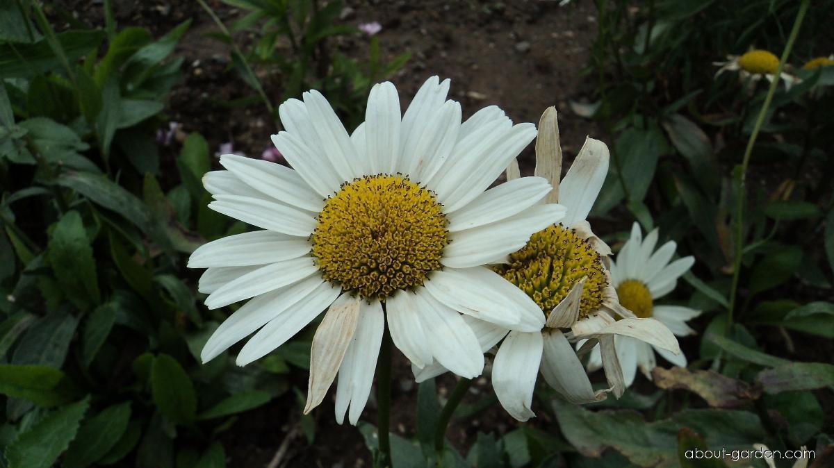 Shasta Daisy - Leucanthemum x superbum