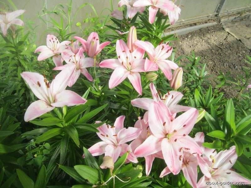 Lilie Vermeer - Asijský hybrid (Lilium x hybridum)