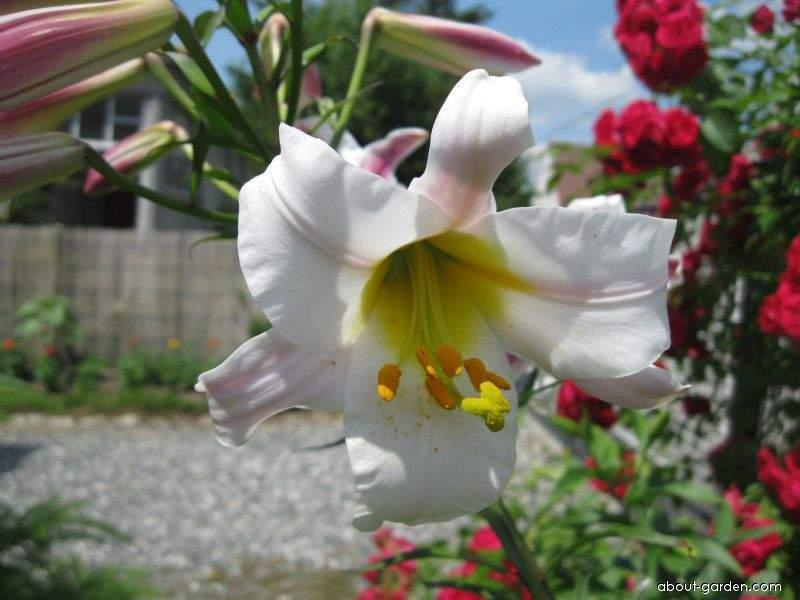 Lily - Lilium x hybridum Regale