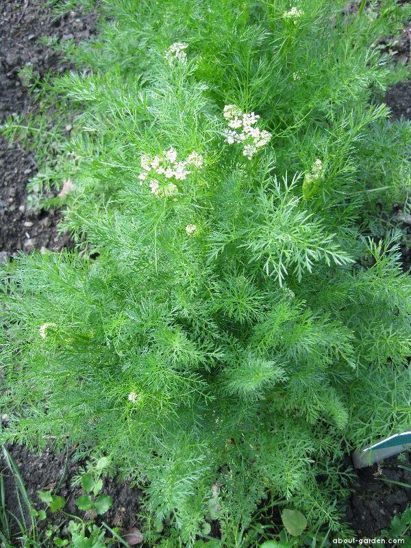 Koriandr setý (Coriandrum sativum)