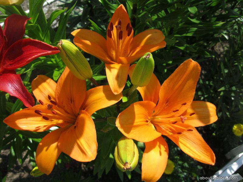 Lily - Lilium x hybridum Nemo