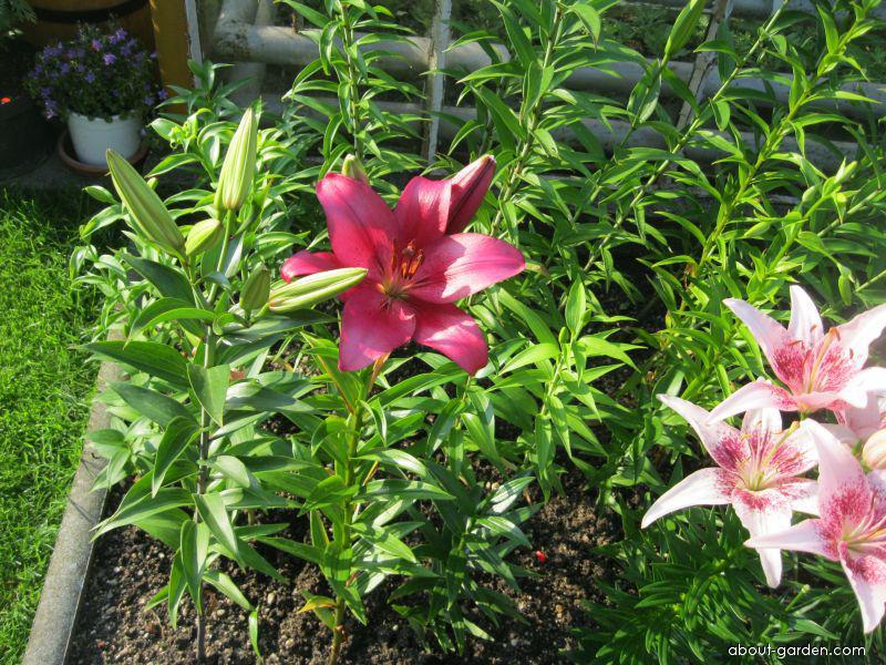 Lily - Lilium x hybridum Opportunity