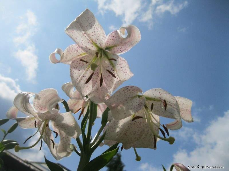 Lilie Lankon - LL hybridy (Lilium x hybridum)