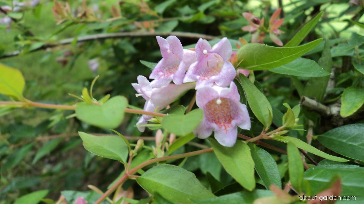 Glossy Abelia - Abelia x grandiflora