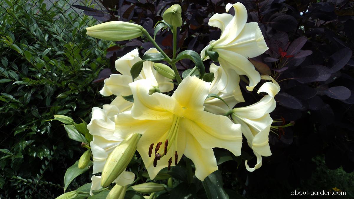 Lilie Conca dOur - OT hybrid (Lilium x hybridum)