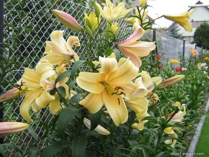 Lily - Lilium x hybridum Orania