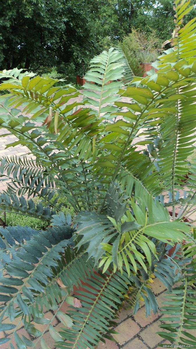 Píchoš (Encephalartos ferox)