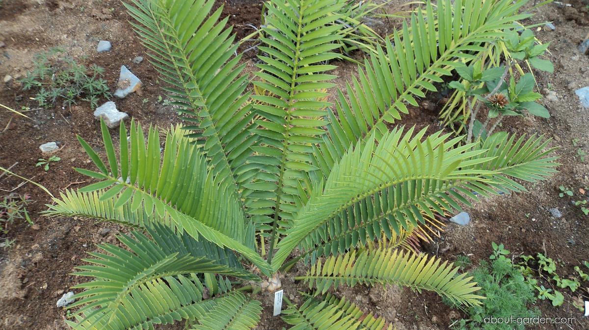 Píchoš (Encephalartos aemulans)