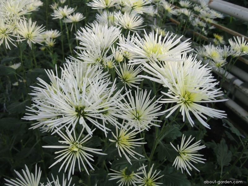 Chryzantéma Westland Winter (Chrysanthemum)