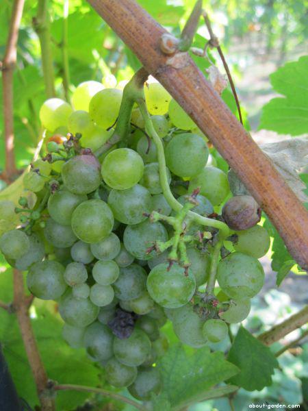 Réva vinná Sylvánské (Vitis vinifera)