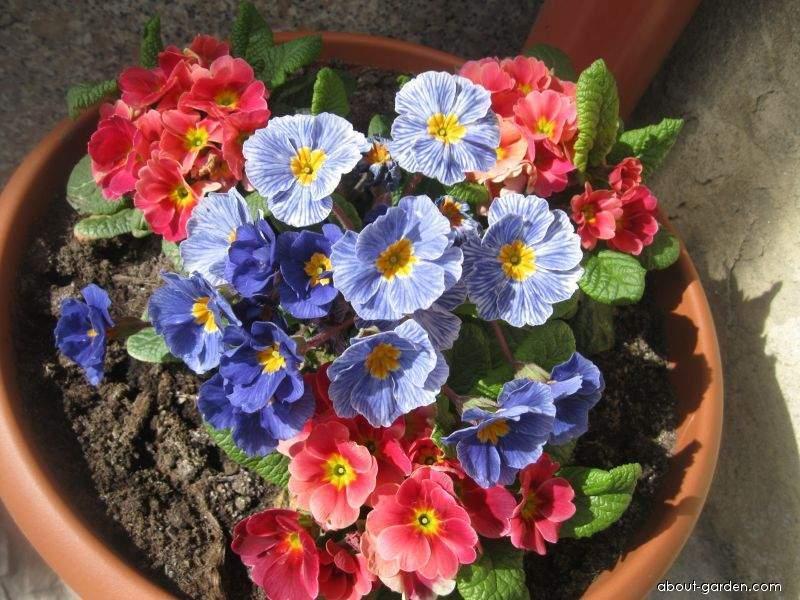 Prvosenka (Primula)