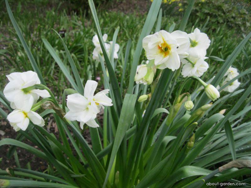 Narcis Rose Sunrise (Narcissus x hybridus)