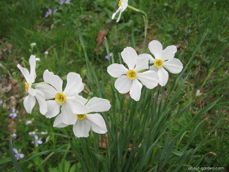 Pheasant s-eye Daffodil - Narcissus poeticus