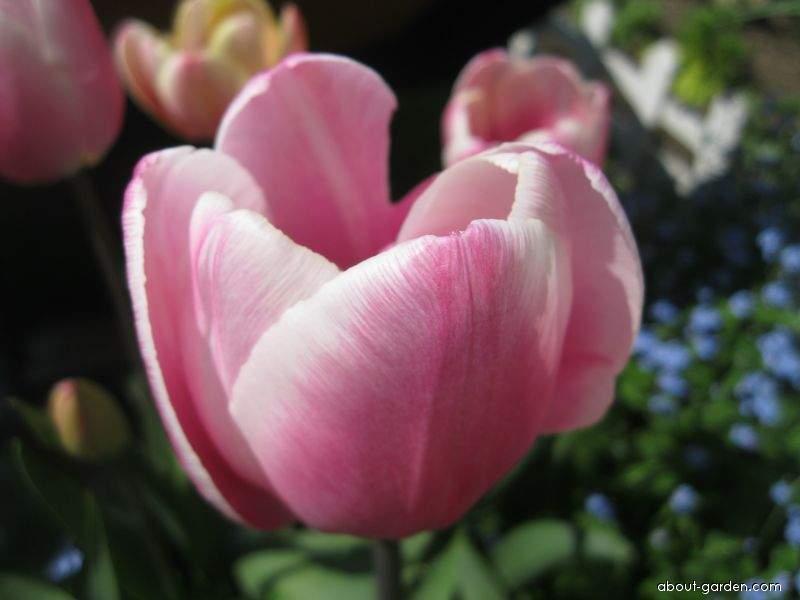 Tulip - Tulipa Jumbo Beauty