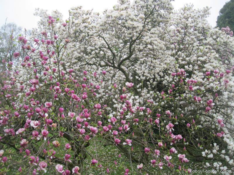 Šácholan (Magnolia)