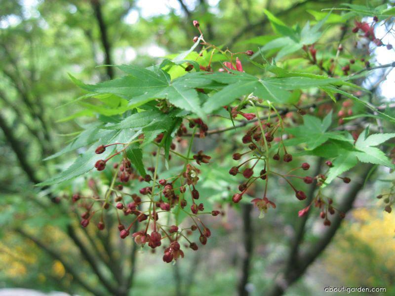 Japanese maple - Acer palmatum
