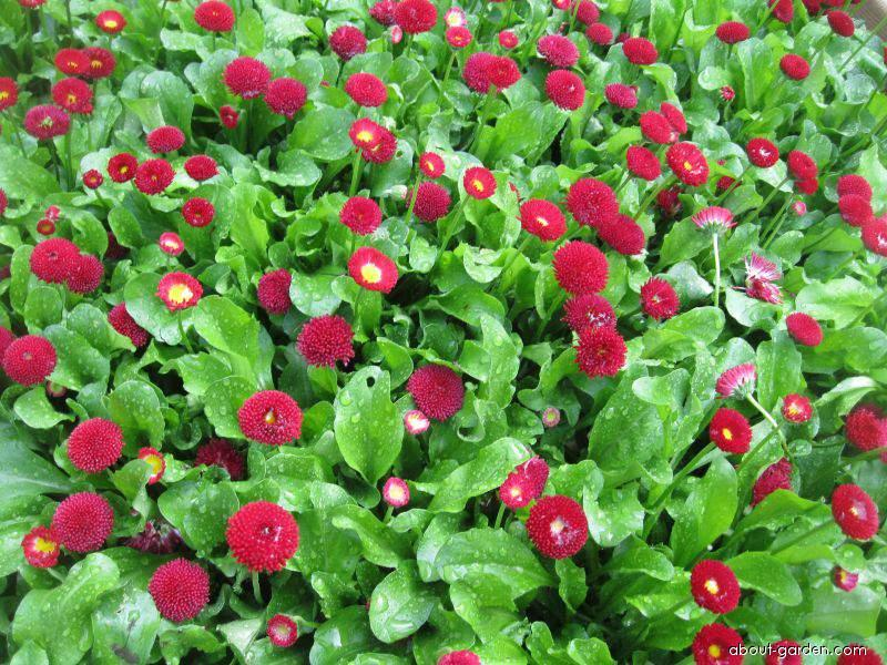 English Daisy - Bellis perennis Rominette Red
