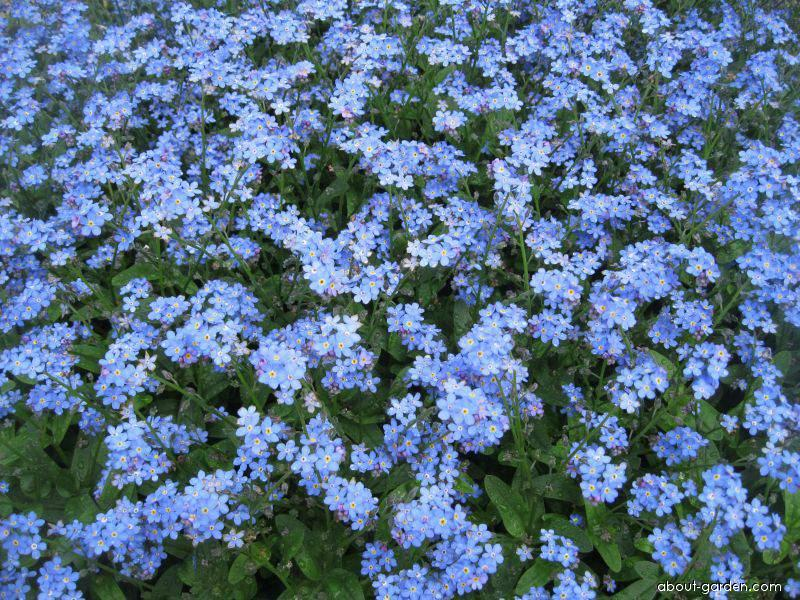 Wood Forget-me-not - Myosotis sylvatica Bluesylva