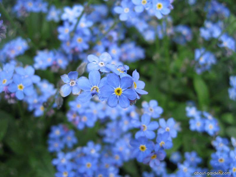 Wood Forget-me-not - Myosotis sylvatica Bluesylva