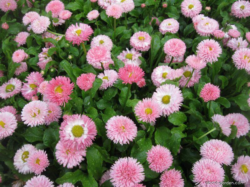 English Daisy - Bellis perennis Robella