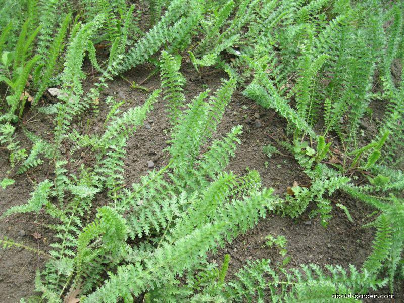 Tužebník šestiplátečný (Filipendula hexapatela)