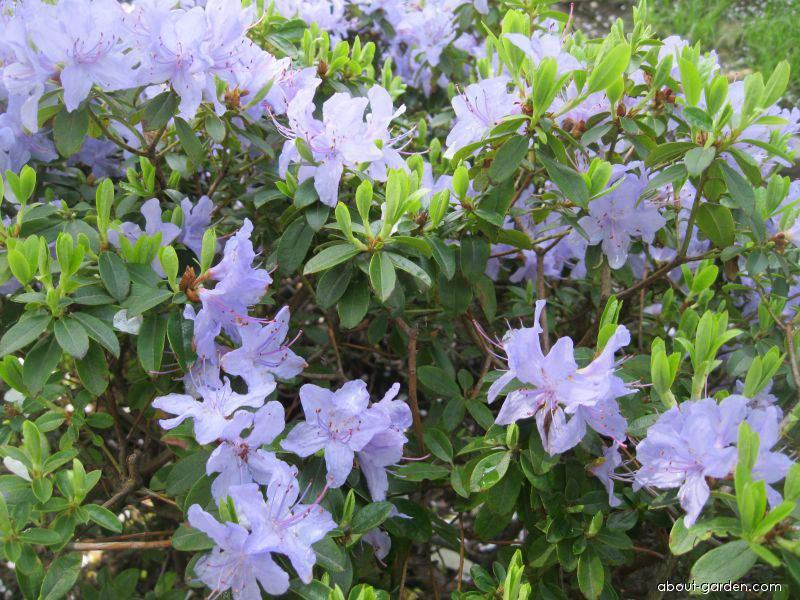 Pěnišník obtížený Blue Tit (Rhododendron impeditum)