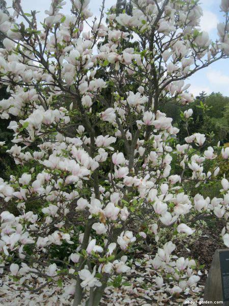 Saucer Magnolia About Gardencom