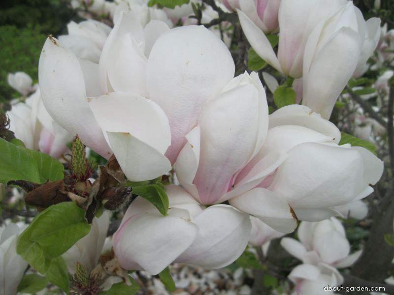 Saucer Magnolia - Magnolia x soulangeana Brozzoni