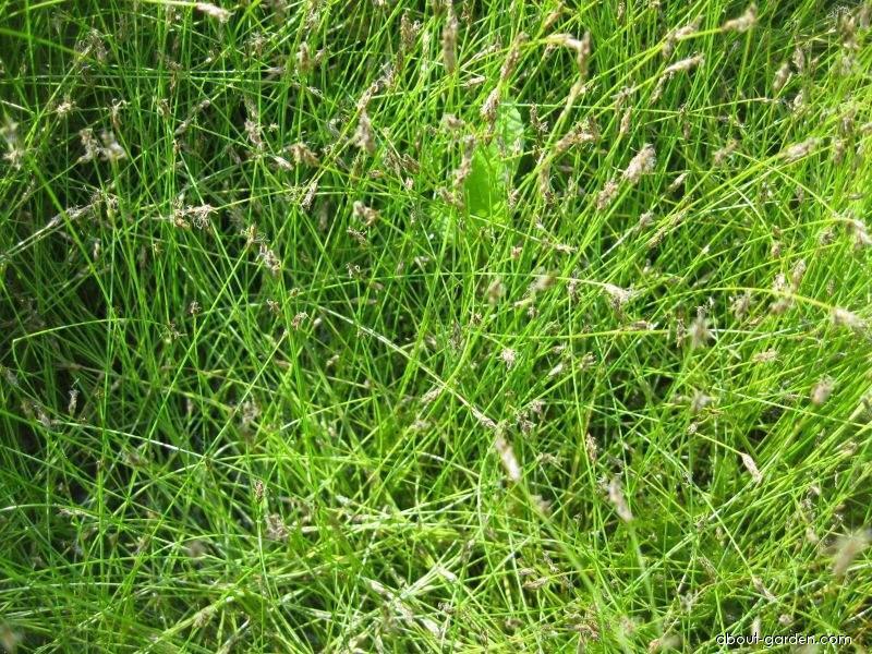 Bahnička jehlovitá (Eleocharis acicularis)
