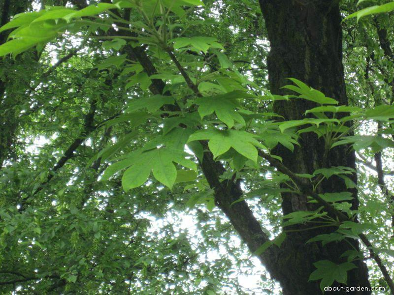 Dlanitec pestrý (Kalopanax pictus)