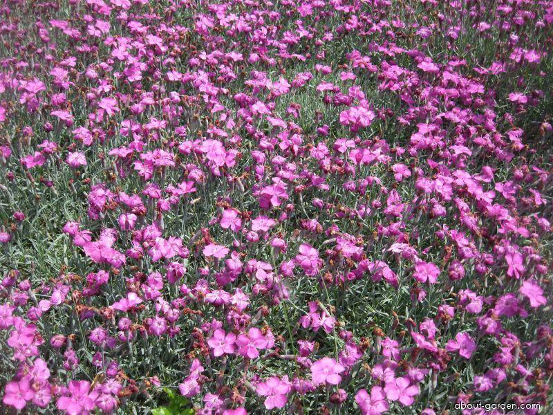 Cheddar Pink - Dianthus gratianopolitanus Babí Lom