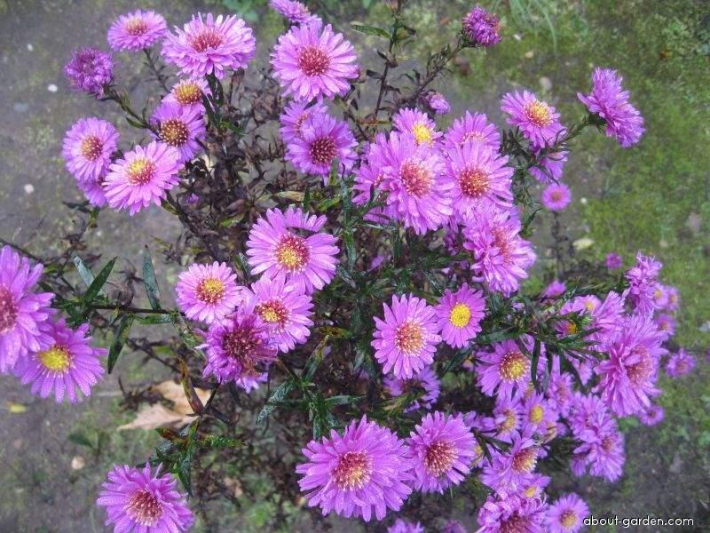 Symphyotrichum novae-angliae Kate Bloomfield (New England Aster)