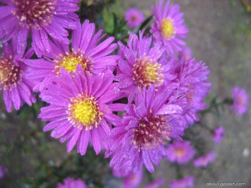 New England Aster - Symphyotrichum novae-angliae Kate Bloomfield