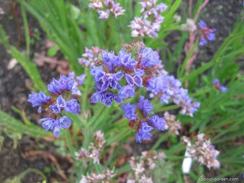 Limonka chobotnatá Pacific Sky Blue (Limonium sinuatum)