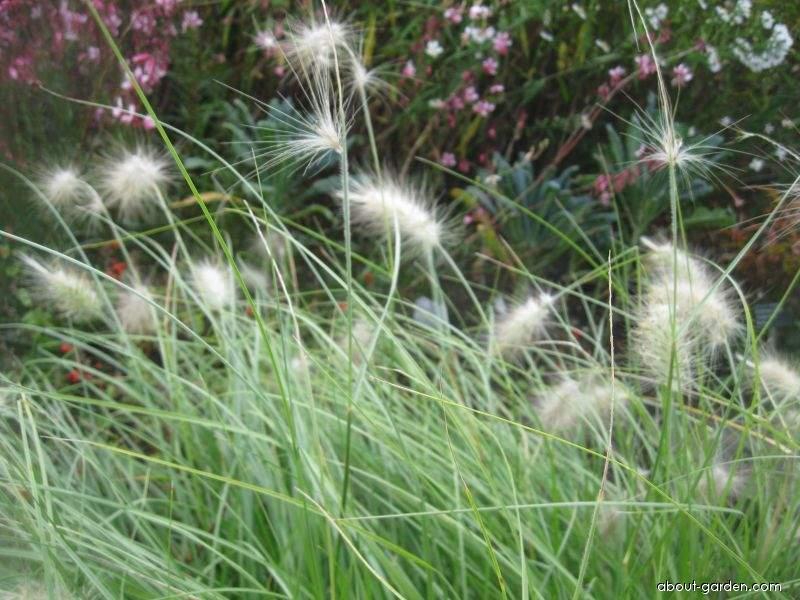 Dochan huňatý (Pennisetum villosum)