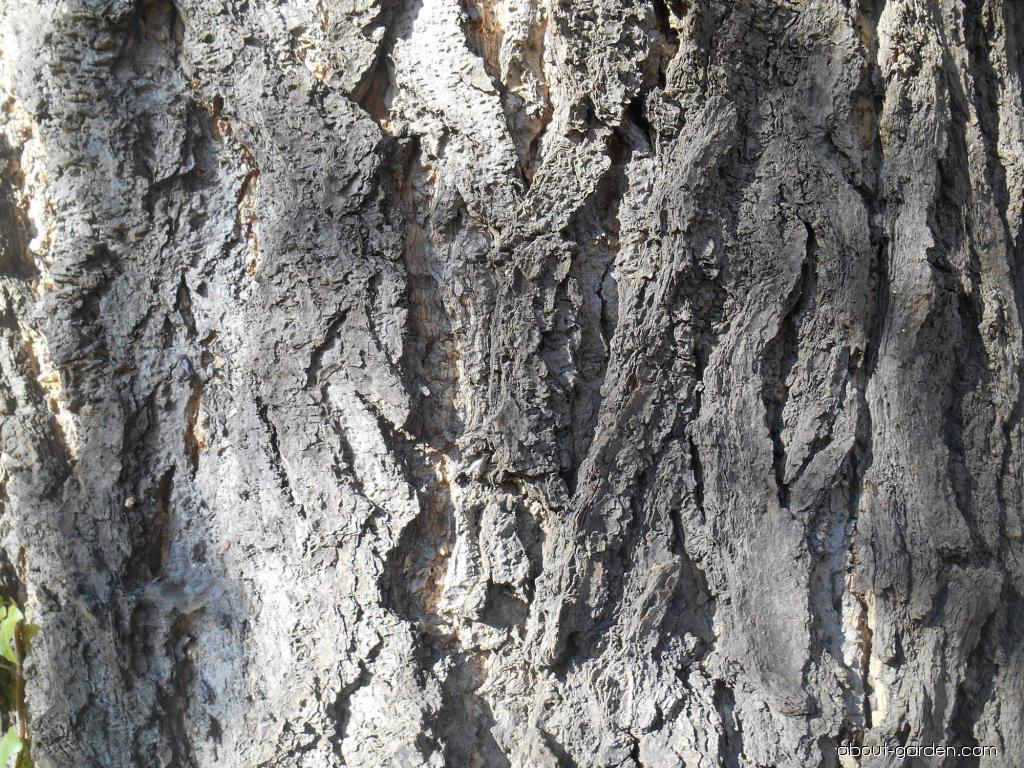 Jinan dvojlaločný - kůra (Ginkgo biloba)