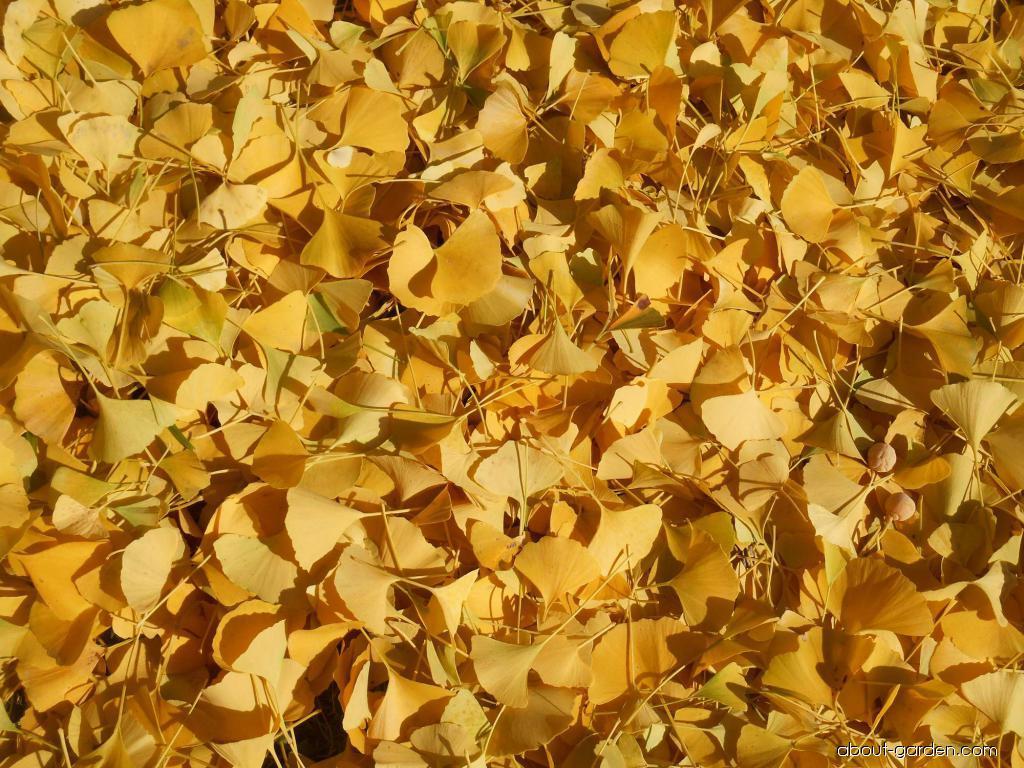 Jinan dvojlaločný - podzimní zbarvení listů (Ginkgo biloba)