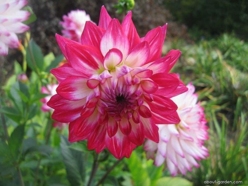 Jiřina zahradní Dagmar (Dahlia pinnata)