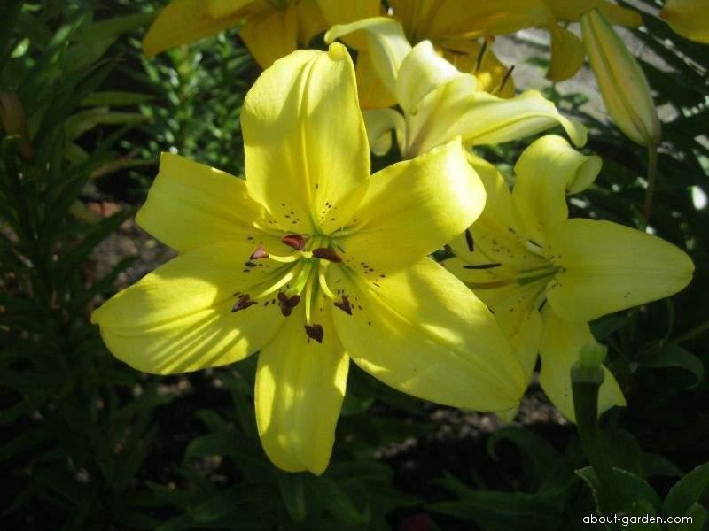 Lily - Lilium x hybridum Kvintán