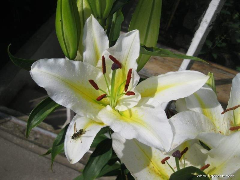 Lily - Lilium x hybridum Columbia