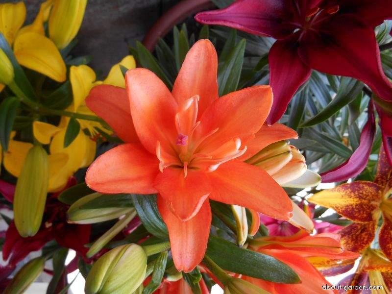 Lilie Tiny Double You - Asijský nízký hybrid (Lilium x hybridum)